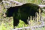 black bear - file photo