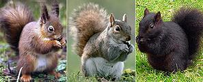 Red, gray and 'mutant' black squirrels