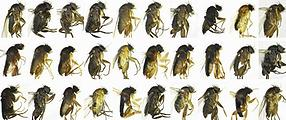 30 species of flies